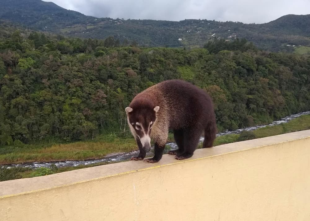 What's It REALLY Like to Live in a Foreign Country? - Coatimundi at the Boquete Welcome Center