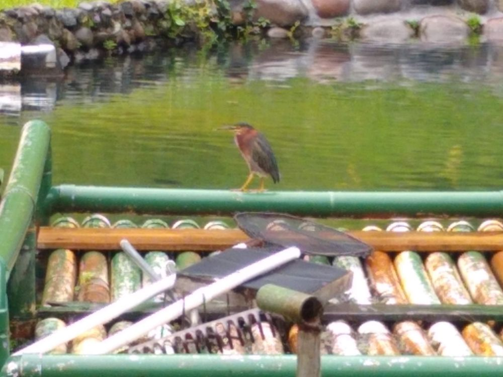We Decided Not To Move Back Home to the U.S. Yet! - Green heron